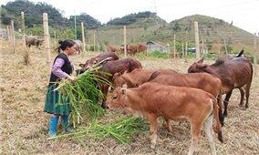 Tông Cọ (Sơn La): Nông dân nuôi bò vỗ béo mang lại hiệu quả kinh tế cao