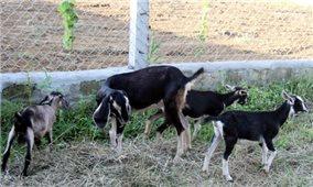 Hà Tĩnh: Nâng cao chất lượng đàn dê Hương Sơn