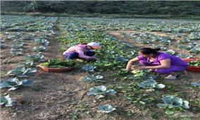 Tuyên Quang:Trồng rau sạch trái vụ cho giá trị cao
