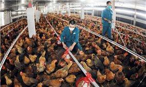Chăn nuôi an toàn sinh học, hướng đến phát triển bền vững