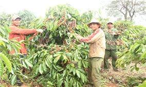 Gia Lai: Năng suất cà phê giảm, giá nhân công cao