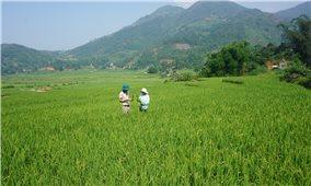 Bát Xát (Lào Cai): Hơn 200 ha lúa đặc sản Séng Cù nguy cơ mất trắng