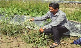 Đồng bằng Sông cửu Long: Hạn, mặn đến sớm, nông dân mất mùa