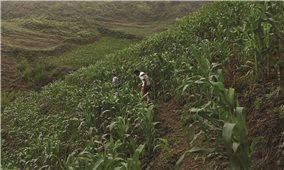 Sản xuất nông nghiệp theo hướng hàng hóa ở Quang Bình (Hà Giang): Hiệu quả thấy rõ