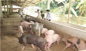 Thanh Hóa: Đẩy nhanh tái đàn lợn có kiểm soát