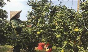 """Phát triển """"nóng"""" diện tích cây ăn quả có múi ở Hòa Bình: Nguy cơ thoái hóa chất lượng giống"""