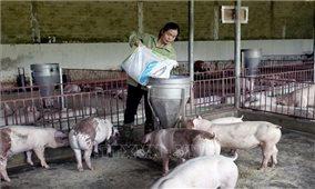 Trang trại nuôi lợn cho thu nhập tiền tỷ mỗi năm tại Sơn La