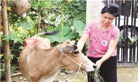 """Điện Biên: Hộ nghèo nhận bò lại """"đeo"""" khoản nợ"""