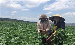 Nông dân Tà Hine làm nông nghiệp công nghệ cao