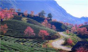 Hoa mai anh đào rực rỡ núi rừng Sa Pa