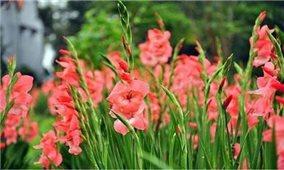 Kỹ thuật chăm sóc hoa lay ơn cho vụ Tết