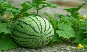 Kỹ thuật trồng dưa hấu vụ Tết