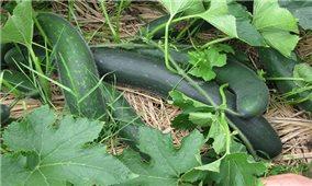 Kỹ thuật trồng bí xanh vụ Đông hiệu quả, năng suất cao