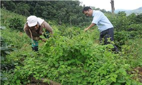 Cây dược liệu với sự phát triển vùng DTTS Kon Tum