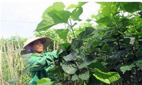 Thu nhập cao nhờ trồng dâu nuôi tằm