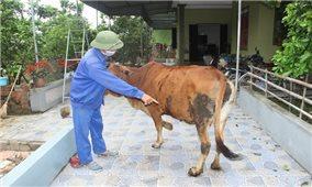 Các tỉnh miền Trung: Khoanh vùng dập dịch viêm da nổi cục trên trâu bò
