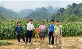 Hà Giang: Giảm nghèo từ mô hình nuôi bò luân chuyển