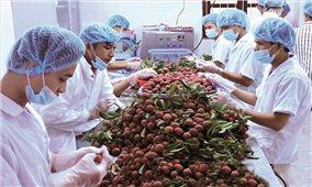 Tiêu thụ vải thiều ở Bắc Giang: Cần sự chung tay chứ không phải là