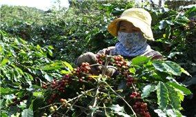 Lập lại vị thế cây cà phê Arabica ở Đông Trường Sơn: Đồng bào Bru Vân Kiều tham gia xây dựng thương hiệu cà phê quốc gia (Bài 2)