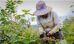 Lập lại vị thế cây cà phê Arabica ở Đông Trường Sơn: Hồi sinh (Bài 1)