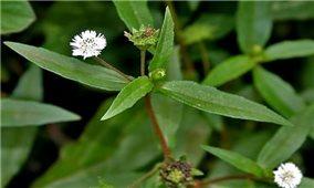 10 bài thuốc chữa bệnh từ cây nhọ nồi