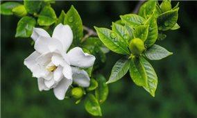 Bài thuốc hay từ cây dành dành