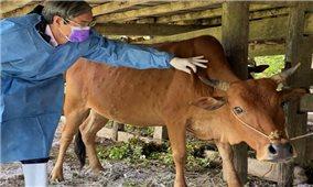 Thanh Hóa: Xử lý dứt điểm bệnh viêm da nổi cục trên trâu, bò