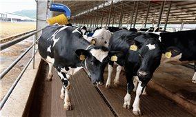 Thêm 2.100 con bò sữa từ Mỹ đã gia nhập đàn tại trang trại Vinamilk Quảng Ngãi