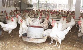Kỹ thuật nuôi và chăm sóc gà Ai Cập
