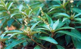 Tác dụng chữa bệnh của lá cây khổ sâm
