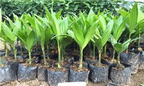Kỹ thuật trồng cây cau tứ quý