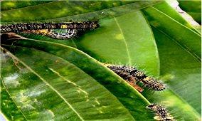 Bảo Yên: Khống chế, dập dịch sâu ăn lá quế