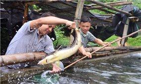 Nuôi cá nước lạnh - Hướng phát triển mới ở vùng cao Bình Liêu