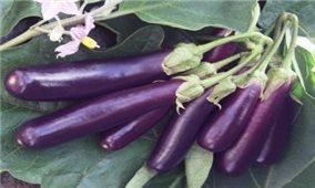 Kỹ thuật trồng cây cà tím