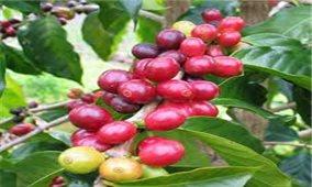 Giá cà phê hôm nay 9/7: Trong nước tăng nhẹ