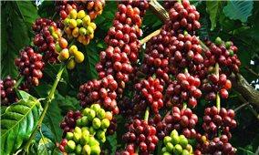 Giá cà phê hôm nay 10/7: Tiếp tục tăng