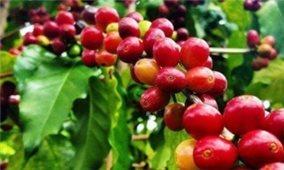 Giá cà phê hôm nay 11/7: Tiếp tục tăng