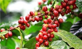Giá cà phê hôm nay 22/7: Thị trường trong nước tăng trung bình 400 đồng/kg