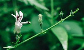 Những bài thuốc dân gian từ cây xuyên tâm liên