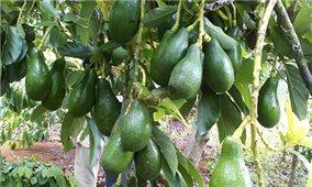 Loại trái cây nào sẽ được xuất khẩu nhiều nhất vào năm 2030?