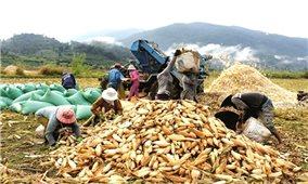 Bình Thuận tiếp tục triển khai đầu tư ứng trước cho các hộ đồng bào DTTS sản xuất bắp lai, lúa nước