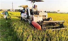 Thu hoạch lúa trong thời đại dịch