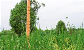 Trung Quốc thu hoạch giống lúa khổng lồ cao 2 mét