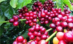 Giá cà phê hôm nay 4/9: Trong khoảng 39.200 - 40.100 đồng/kg