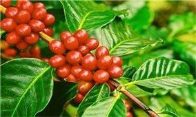 Giá cà phê hôm nay 3/9: Trong khoảng 39.200 - 40.100 đồng/kg