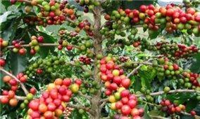 Giá cà phê hôm nay 7/9: Tăng 200-300 đồng/kg