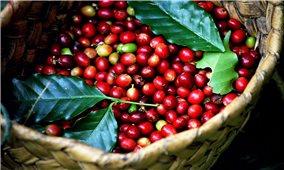 Giá cà phê hôm nay 9/9: Có giảm nhẹ