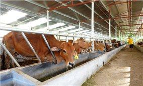 Làm giàu từ nuôi bò giống