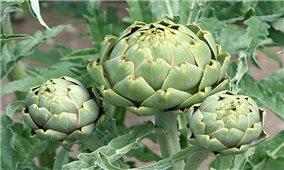 Quy trình kỹ thuật trồng cây Atiso cho năng suất cao