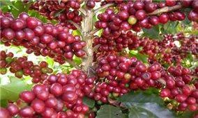 Giá cà phê hôm nay 1/10: Trong mức 39.200-40.100 đồng/kg